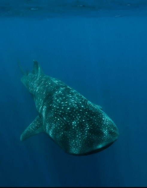 spotted whale shark