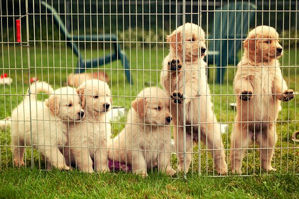 encaged puppies