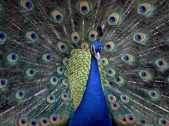 Blue Peacock is found in Pakistan, India and Sri Lanka.
