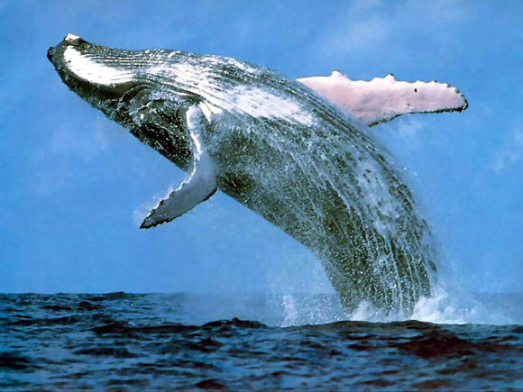 Blue Whale jumping in the water.