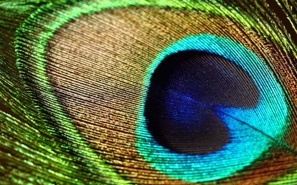 blue peacock feather.
